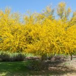 Palo Verde Tree in Spring Bloom