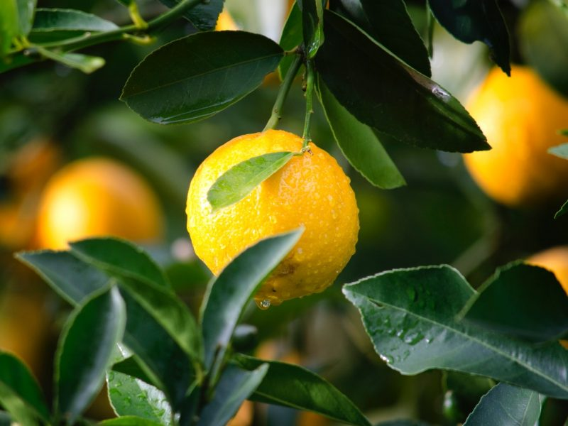 Close up of orange on citrus tree