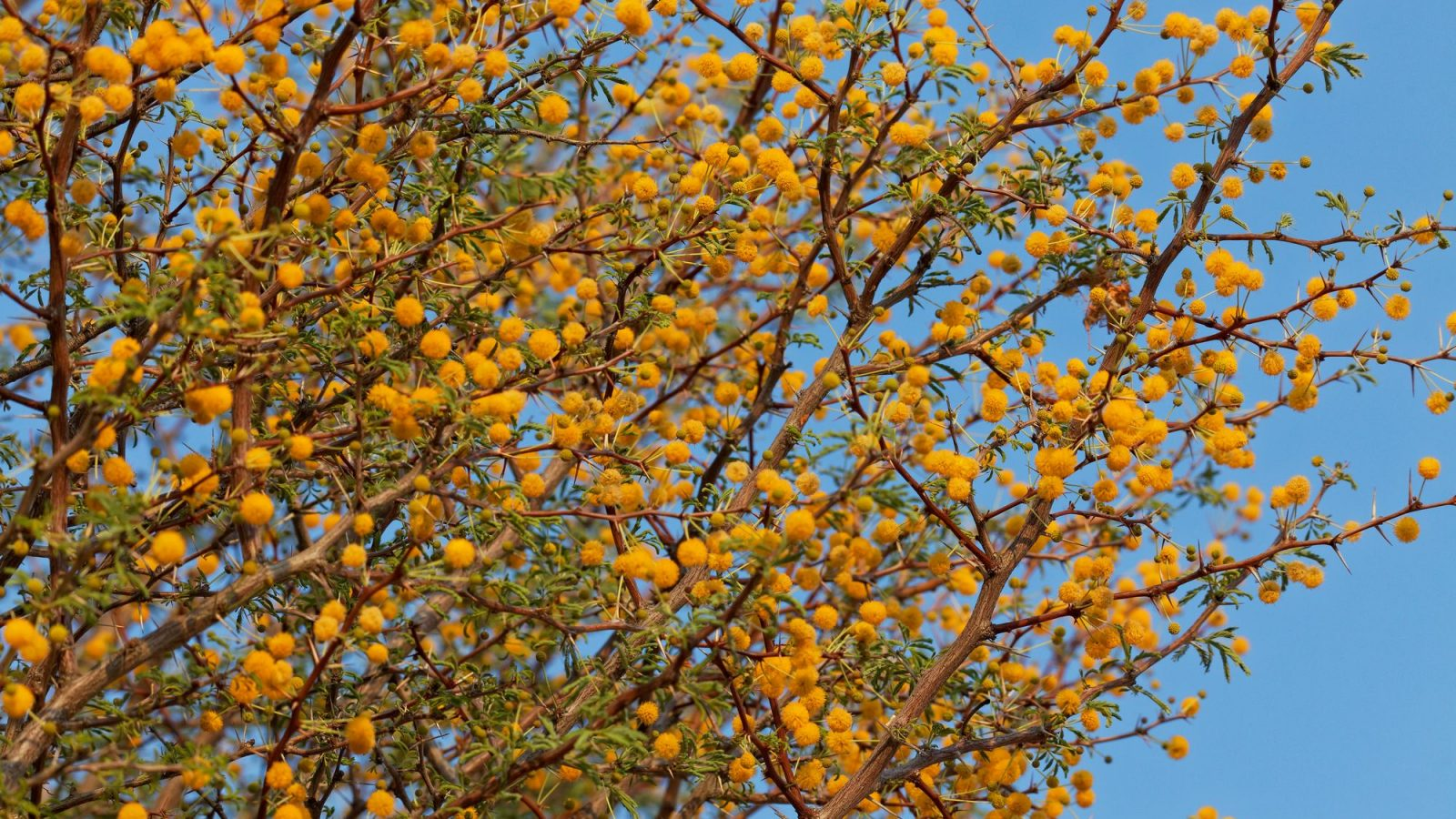 Acacia Farnesiana Sweet Acacia Tree