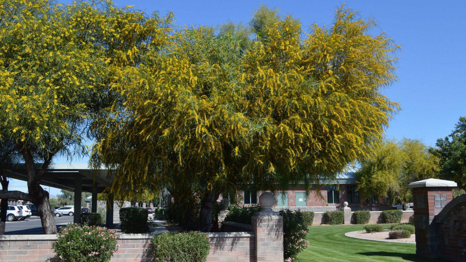 Acacia Saligna Tree
