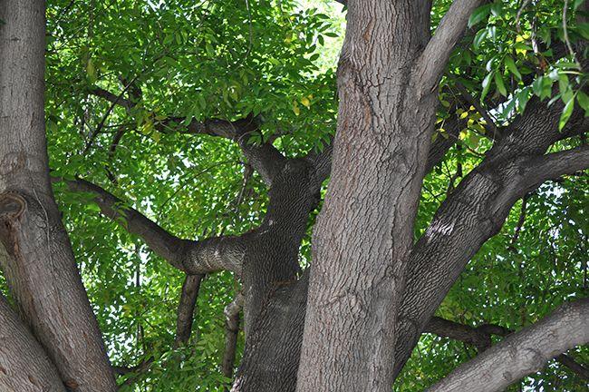 Fraxinus Uhdea Majestic Ash Tree