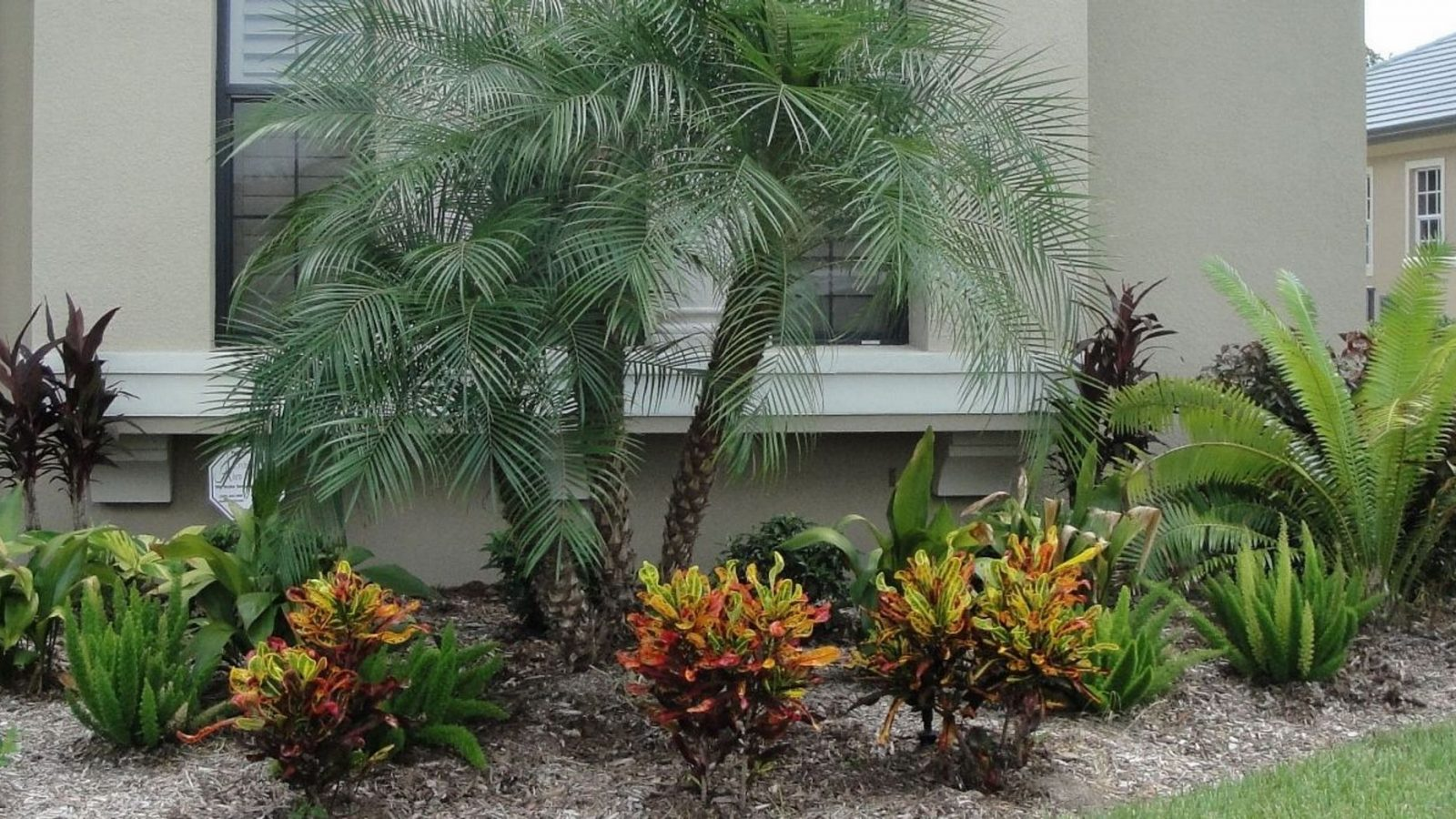 Robellini Pygmy Palm Tree
