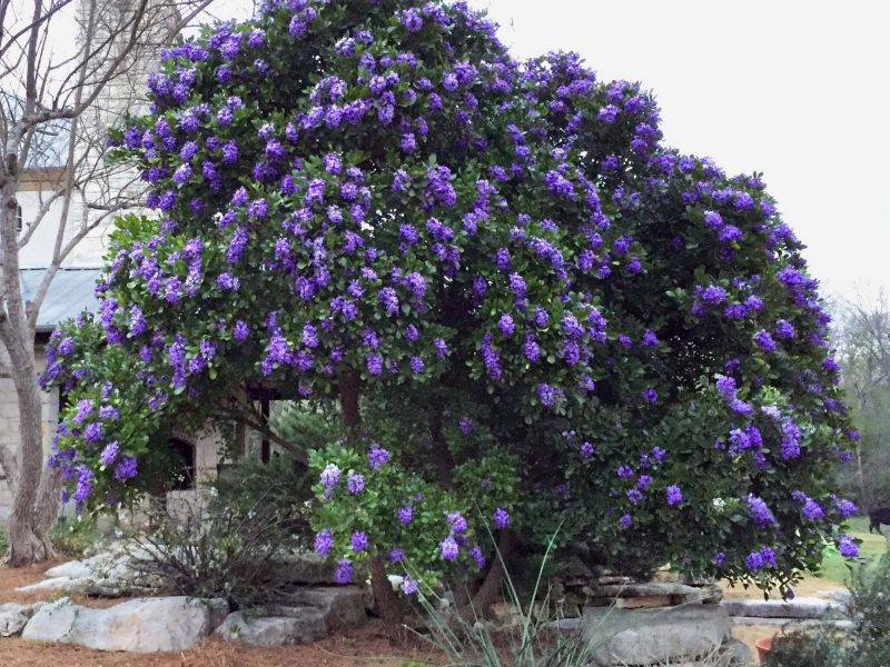 Sophora Secundiflora Texas Mountain Laurel Tree