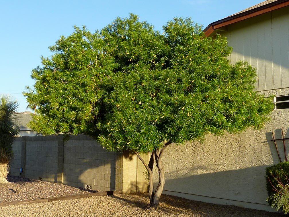Thevetia Peruviana Yellow Bell Oleander Tree